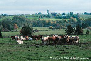Dans le pré, champ de vaches